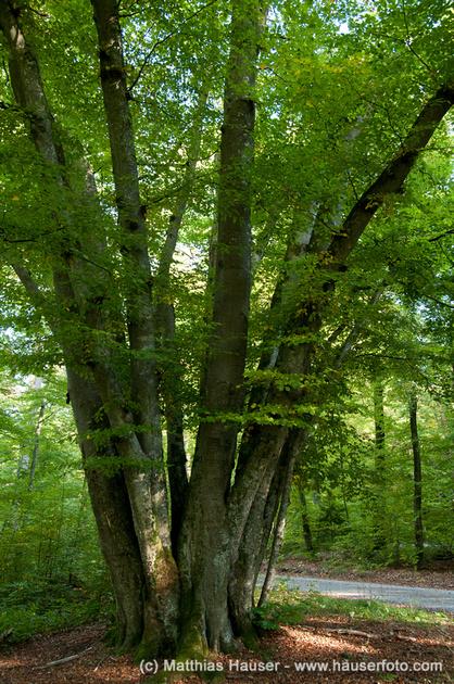 24 Buchen, Naturdenkmal im Naturpark Schönbuch