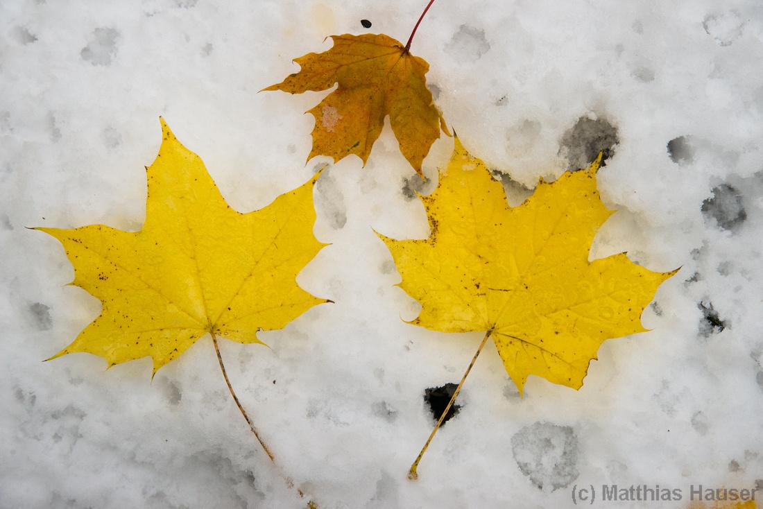 Herbstlaub auf Schnee, früher Wintereinbruch