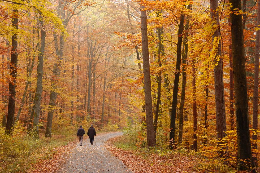 Die Bäume tragen wundervolle Farben - gelb, orange und rot - Herbst im Wald - Naturpark Schönbuch