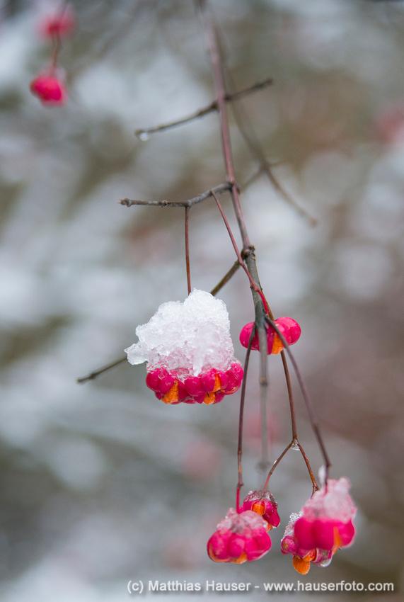 Herbstlicher Strauch, erster Schnee