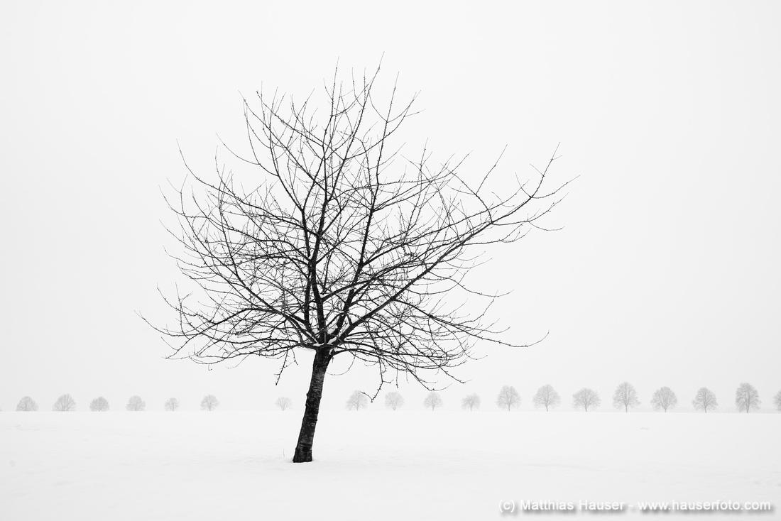 Einzelner kahler Baum im Winter bei viel Schnee, im Hintergrund Bebenhäuser Allee, Naturpark Schönbuch, Baden-Württemberg, Deutschland