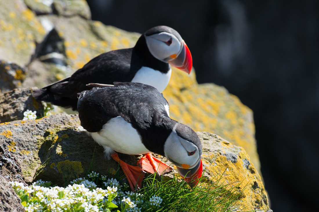 Two Puffins captured in Iceland