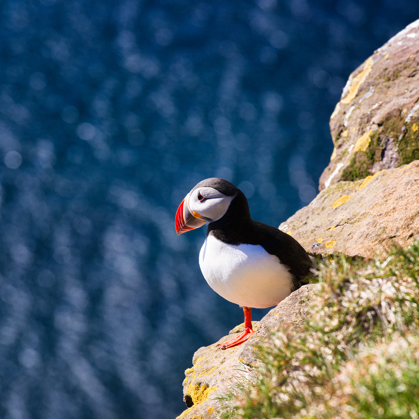 Puffin on a hill with blue water in Iceland
