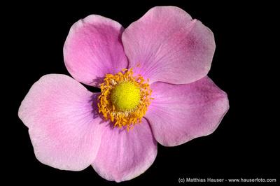 Wunderschöne lila Blume, schwarzer Hintergrund - Amazing pink flower, dark background