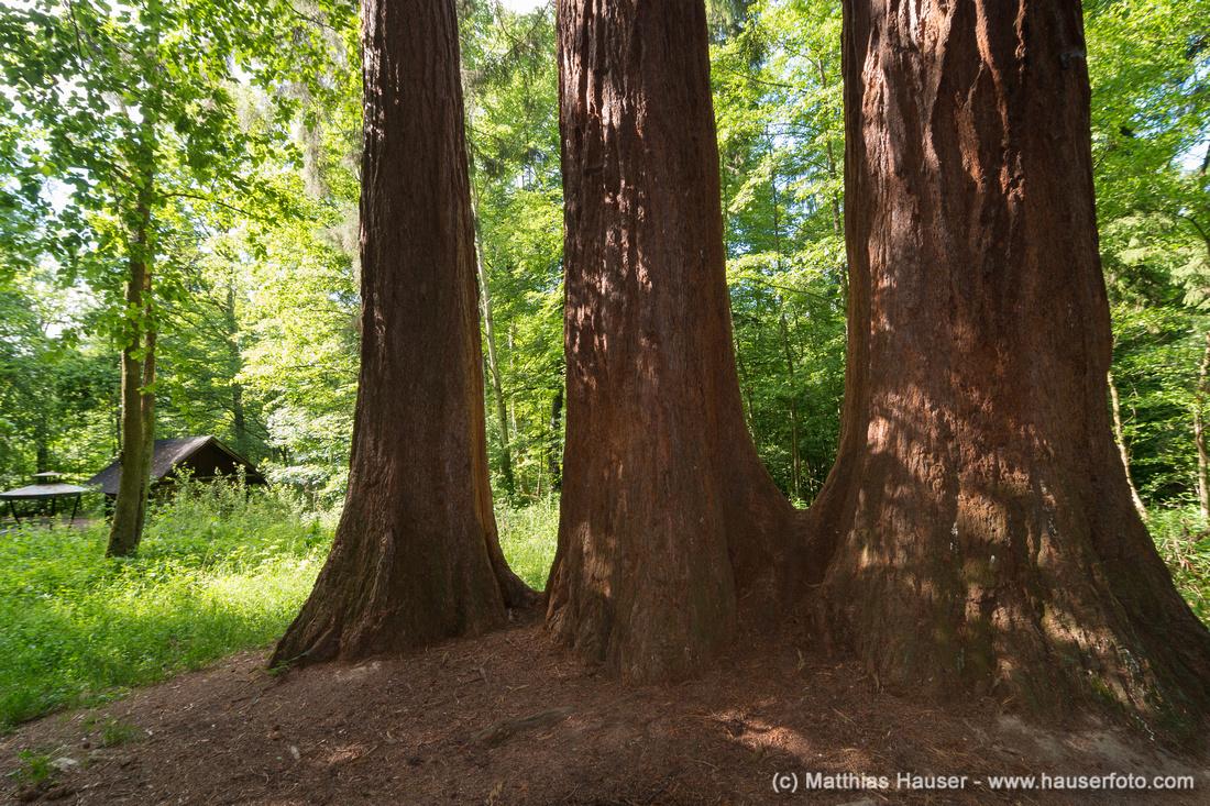 Drei Mammutbäume am weißen Häusle, Naturpark Schönbuch
