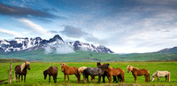Iceland horses in icelandic mountain landscape by Matthias Hauser hauserfoto.com