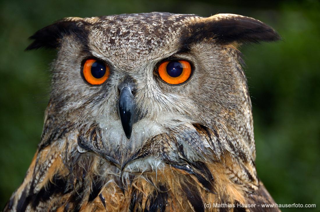 Eagle owl bubo bubo portrait, beautiful orange eyes, wet feathers, green background