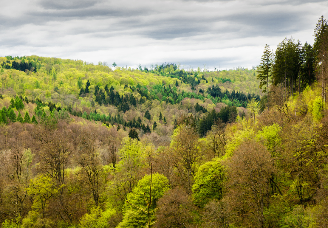 Forest in  Spring with trees in different shades of green