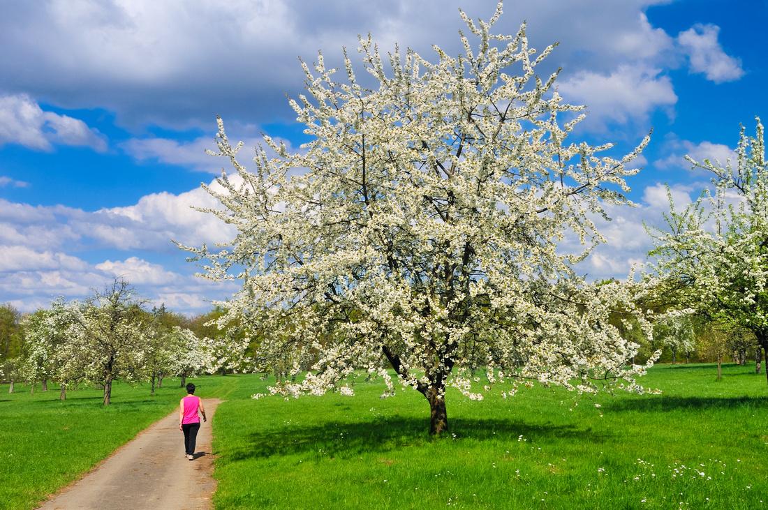 Apple trees in full bloom in Spring