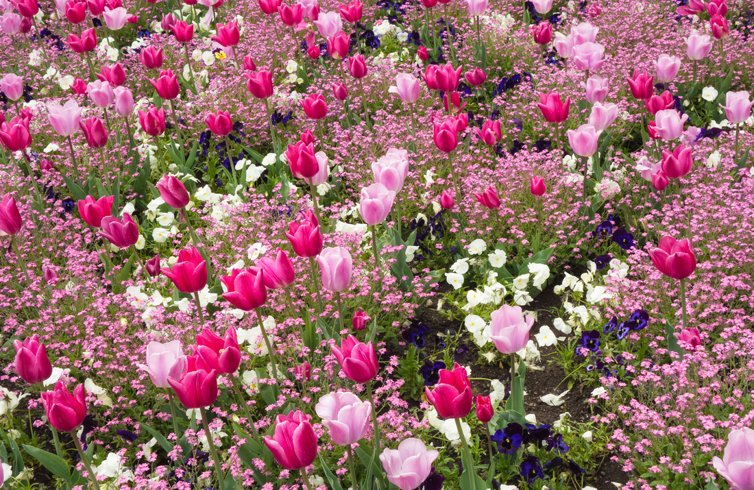 Pink and white flowers in Spring