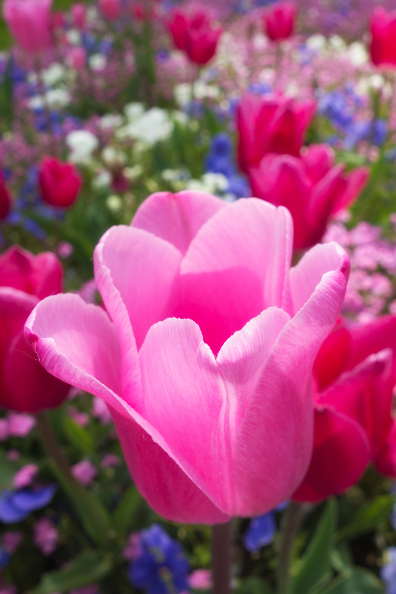 Tulips and other flowers in Spring