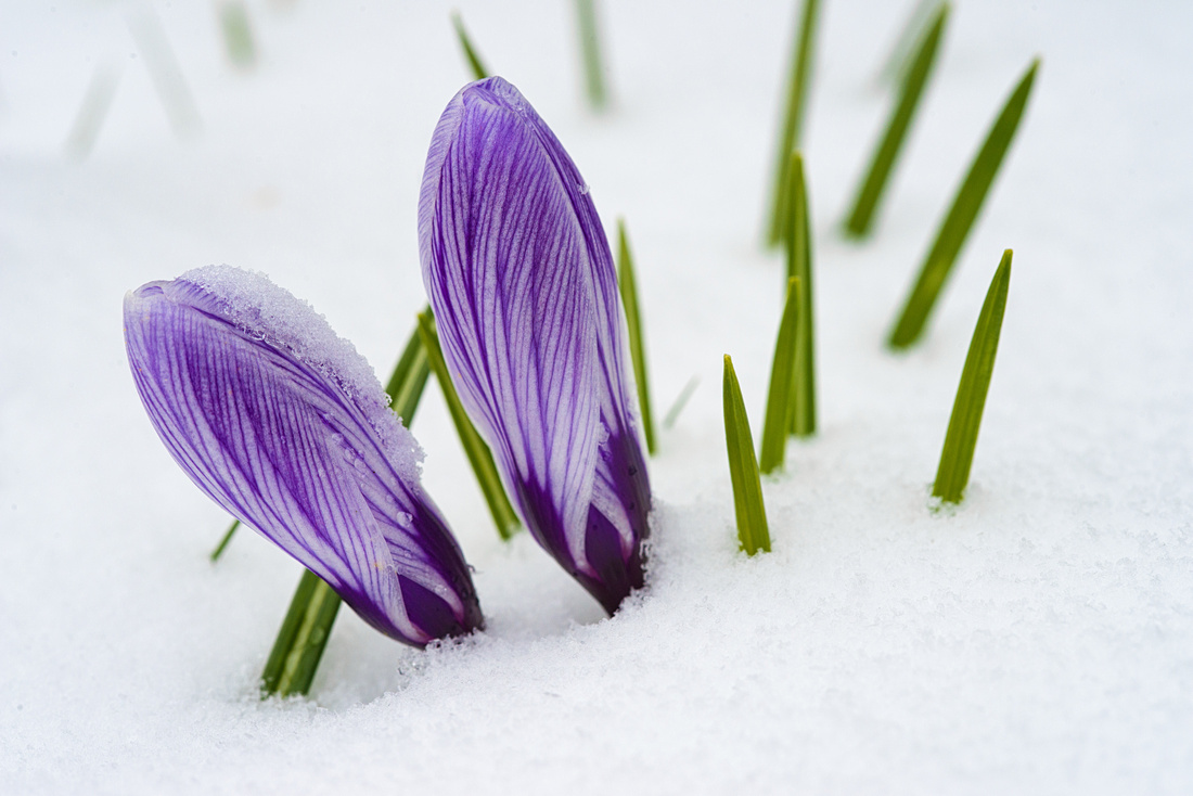 Purple Crocus in Spring with snow