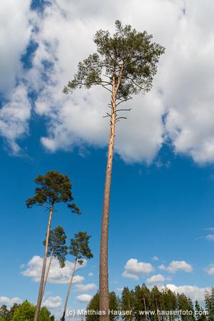 Markante hohe Bäume im Naturpark Schönbuch