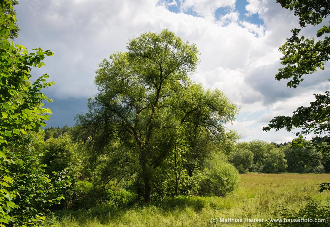 Baum und Wiese im Aichtal