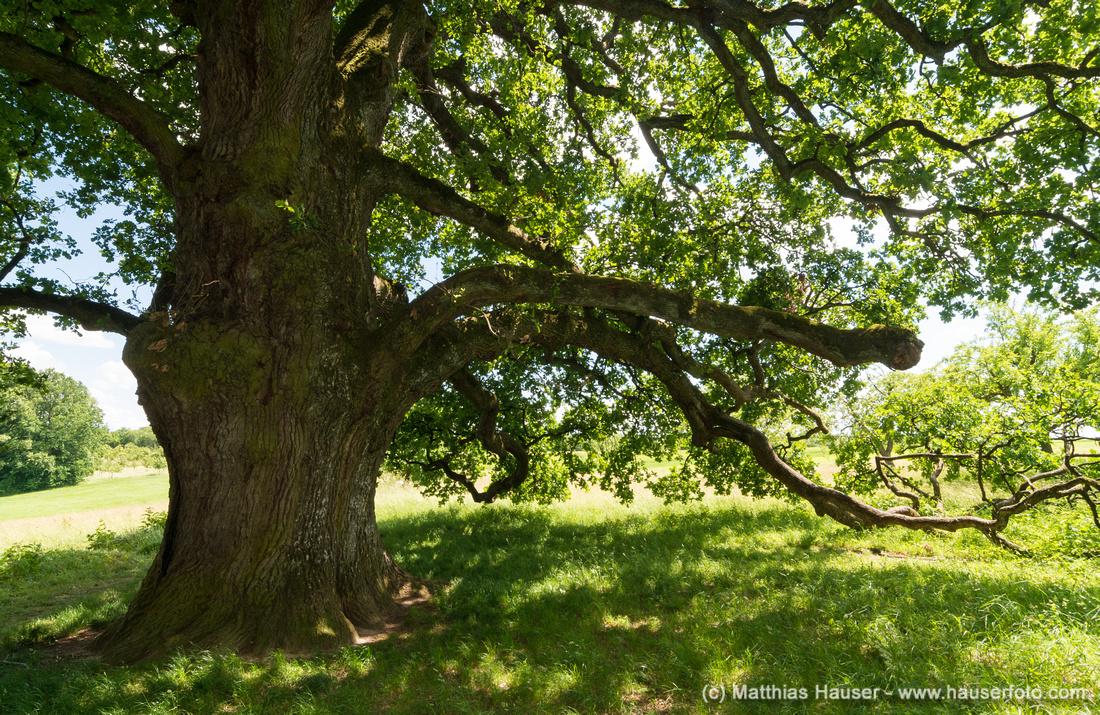 Sulzeiche, markanter Baum im Naturpark Schönbuch