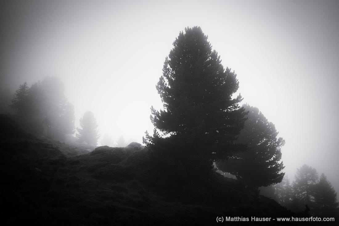 Bäume und Nebel schwarz-weiß, Aletschwald, Wallis, Schweiz - Dark trees in the fog, Aletschwald Forest, Valais, Switzerland