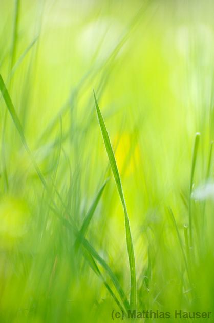 Frisch und grün - Grashalme auf einer Wiese im Sommer