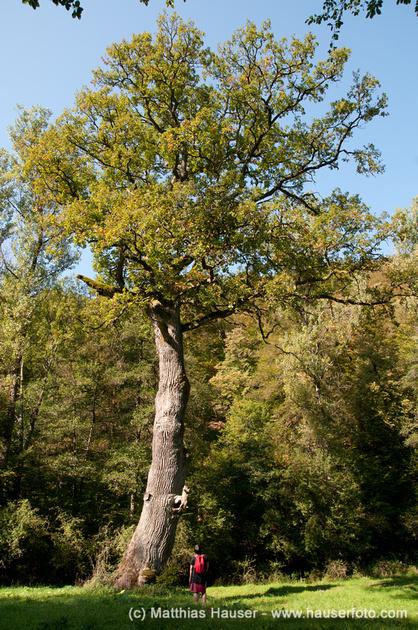 Königseiche im Naturpark Schönbuch