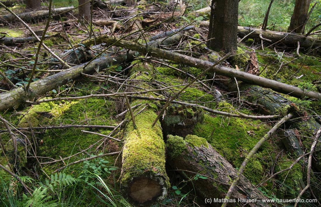 Bäume im Bannwald, Naturpark Schönbuch