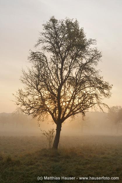Baum bei Sonnenaufgang im Naturpark Schönbuch