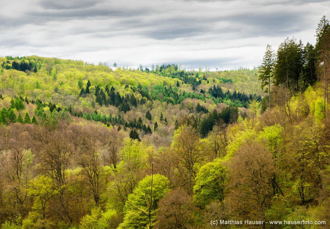 Grüne Bäume im Naturpark Schönbuch im Frühling
