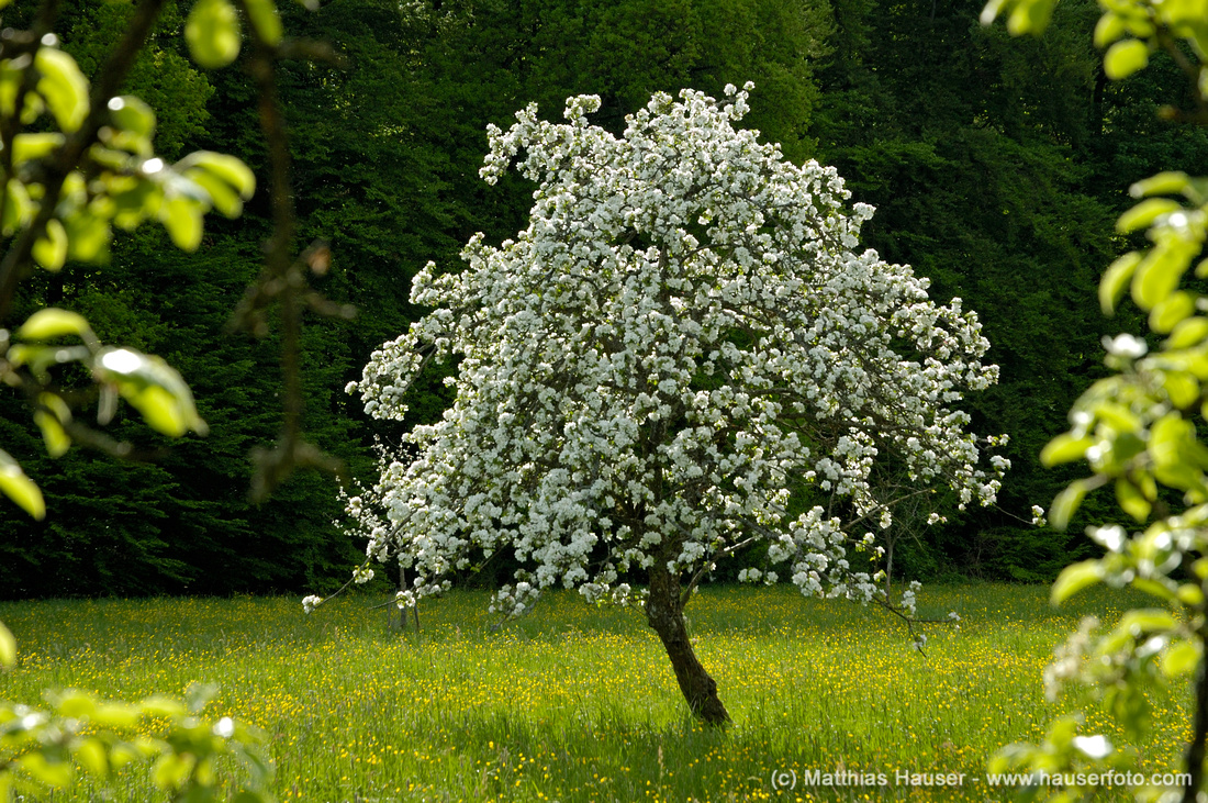 Blossoming Apple tree in full bloom on a spring meadow, beautiful green and white colors