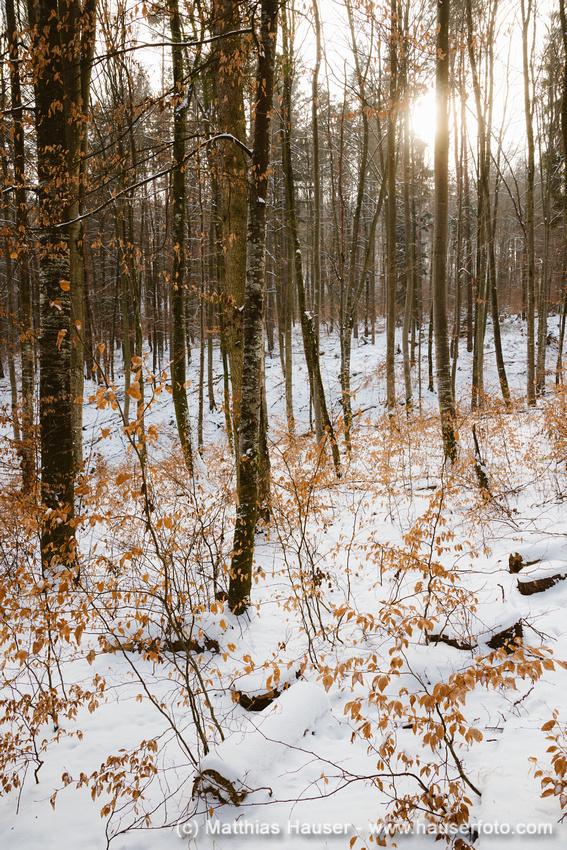 Rotes und braunes Laub im Schnee, sonniger Tag im Winter, Wald im Naturpark Schönbuch, Baden-Württemberg, Deutschland