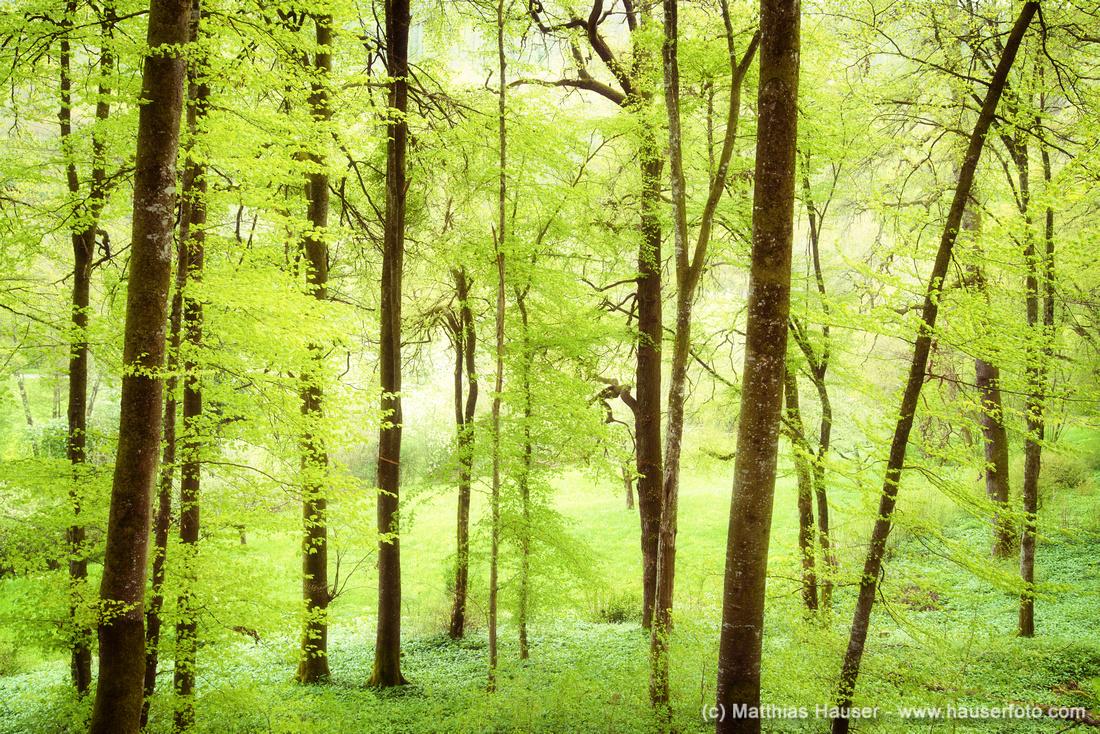 Grüner Wald im Frühling im Naturpark Schönbuch