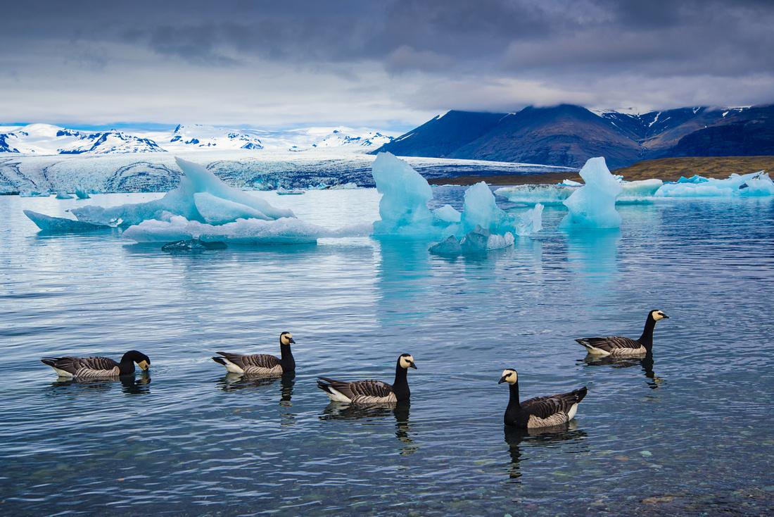 Barnacle geese and icebergs in Jökulsárlón lagoon Iceland