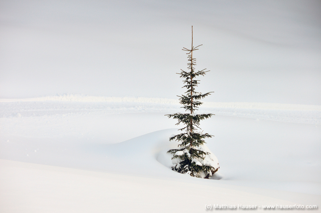 Top of a tree in winter with lots of snow, Kleinwalsertal valley, Austria