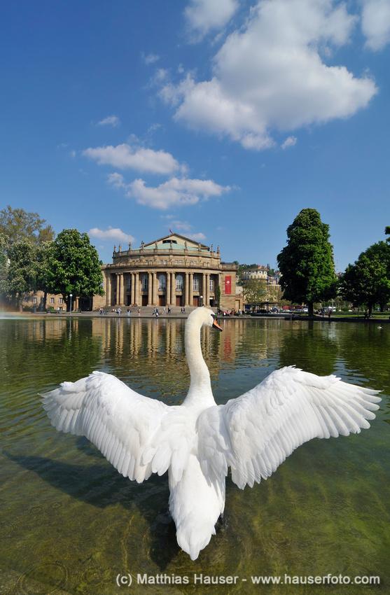 Schwan breitet seine Flügel aus, hinten Staatstheater (Theater, Oper, Ballet) Stuttgart, Baden-Württemberg, Deutschland