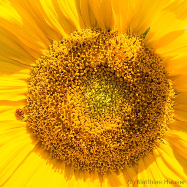 Sonnenblume mit Marienkäfer