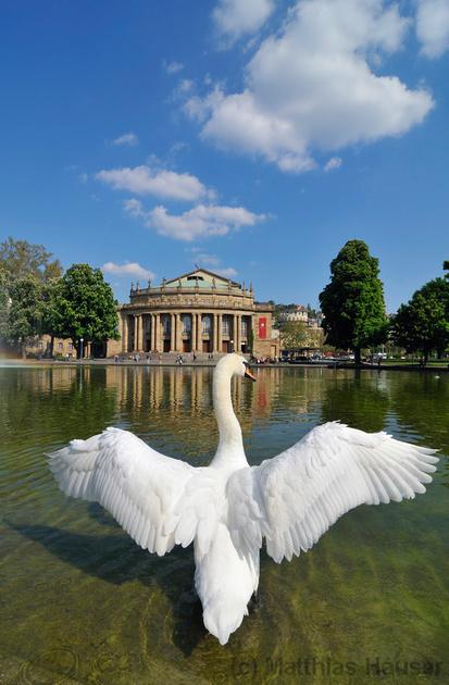 Schwan breitet seine Flügel vor dem Staatstheater Stuttgart aus - Swan spreading wings