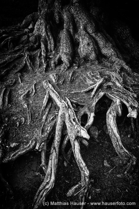 Baumwurzeln in schwarz-weiß - Tree roots in black and white, Aletschwald Forest, Switzerland