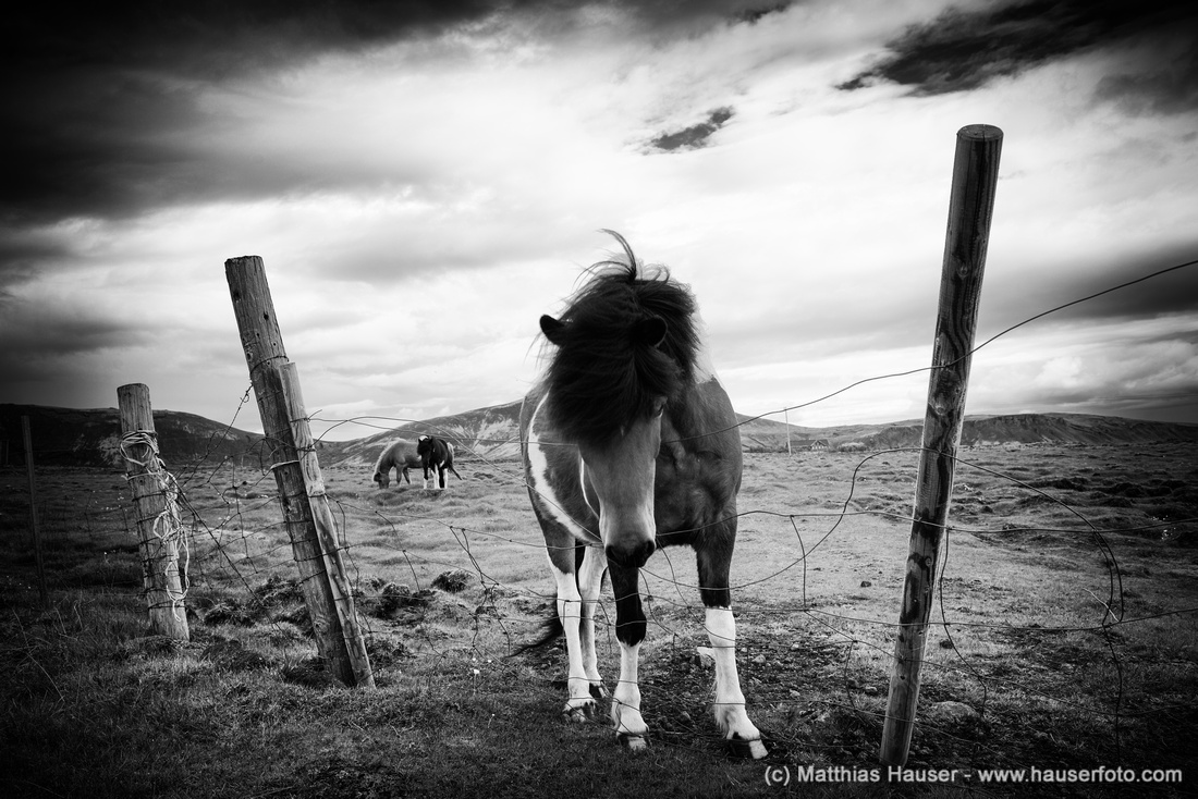 Iceland horses in black and white
