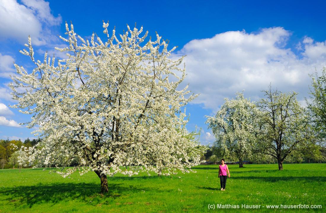 Blühende Bäume im Frühling im Naturpark Schönbuch