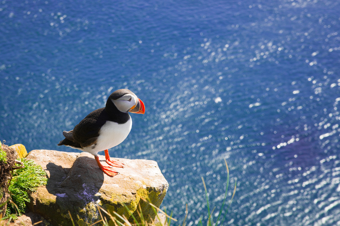 Puffin on a rock in Latrabjarg West Iceland