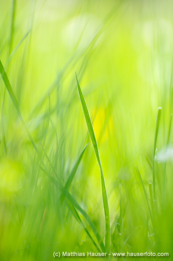 Bright green grass meadow, grass blades with shallow depth of field, soft and abstract, perfect spring and summer feeling