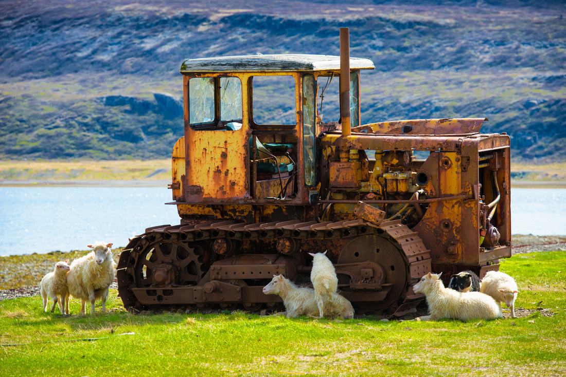 Old rusty construction vehicle with sheep in the westfjords in Iceland