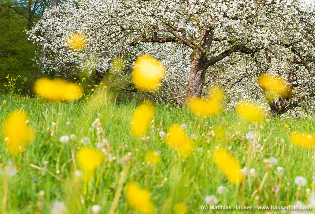 Wiese mit gelben Blumen im Frühling im Naturpark Schönbuch Deutschland